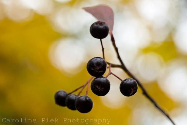 Close up van appelbes in herfst