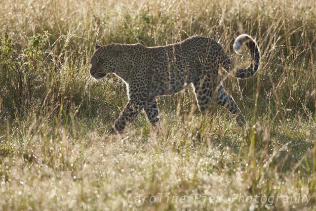 Luipaard (Panthera Pardus) loopt in het gras met tegenlicht