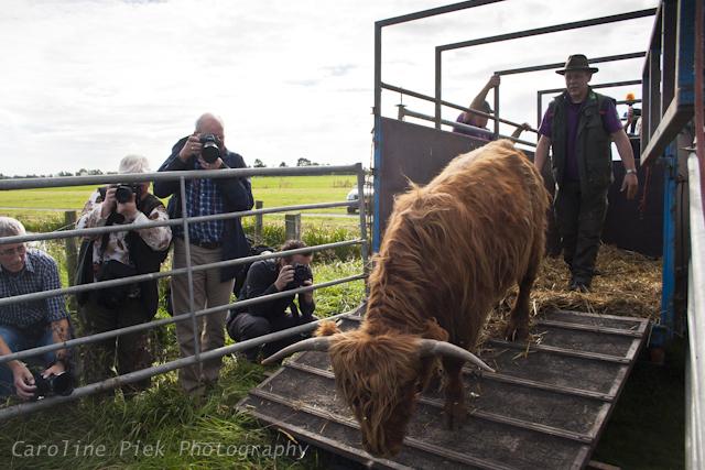 Staatsbosbeheer laat Schotse Hooglanders vrij in Zaans Rietveld