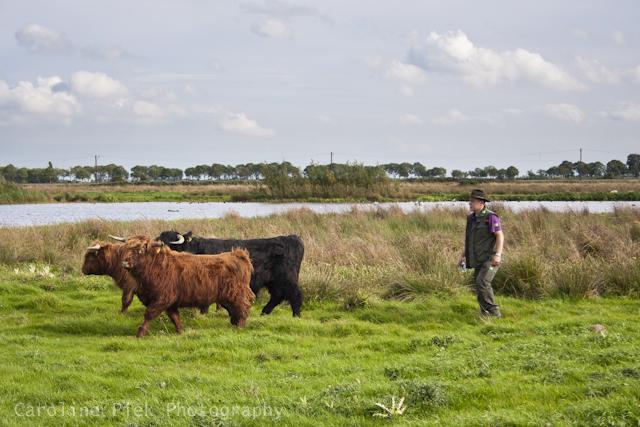 Boswachter met Schotse Hooglanders in Zaans Rietveld