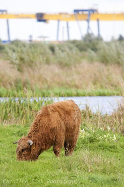 Schotse Hooglander in Zaans Rietveld
