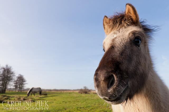 Fotografieworkshop Schotse Hooglanders en Konikpaarden