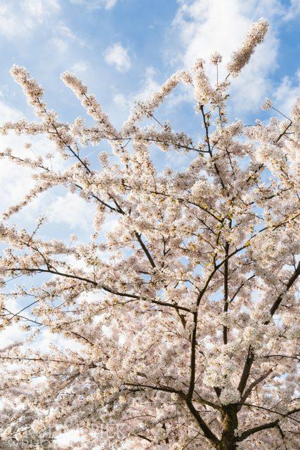 Bloeiende prunus in het voorjaar