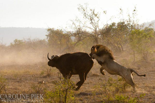 Wildlife safari in Kruger Park Afrika